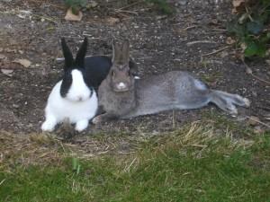 Geld verdienen mit einer Kaninchenstall Baueinleitung auf der eigenen Webseite?