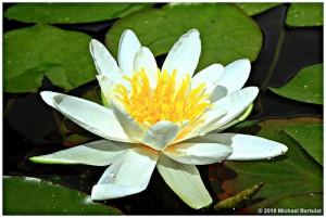 Blühende Seerose - Freude für den Gartenfreund