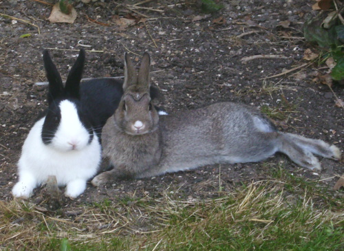 Kaninchen im Freilaufgehege