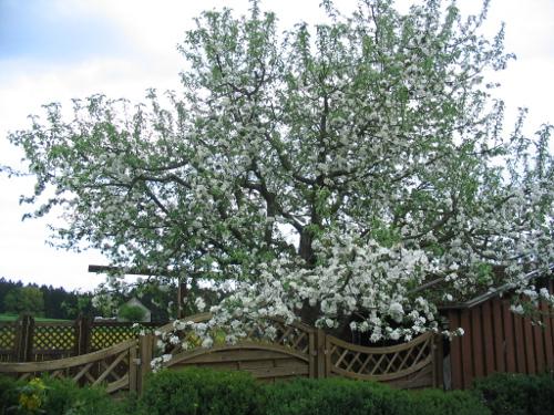Obstbaum im Frühjahr