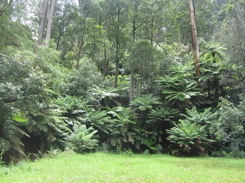 Baumfarne in ihrer natürlichen Umgebung