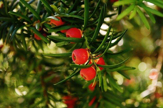 Eibe Taxus pflegen – langlebiges Nadelgehölz